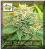 Cream of the Crop Auto Narcotic Kush Fem 5 Seeds